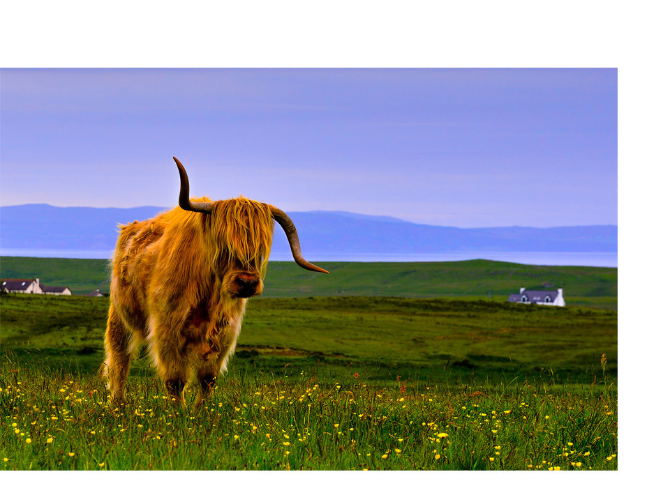 Highland cow on Scottish farm